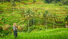 "Постер, картина, фотообои ""Bali, rizière en terrasse"""