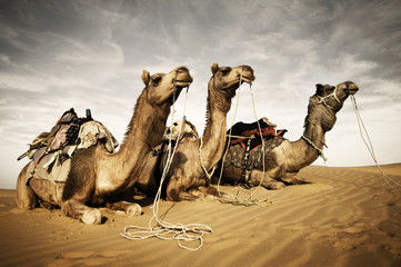 Three Camels Reating in the Desert