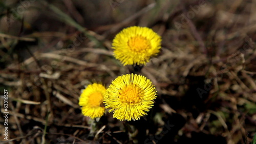 Yellow coltsfoot flower on the ground
