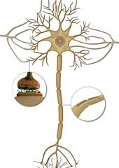 Die Nervenzelle