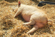 little piglet sleeping on fresh straw
