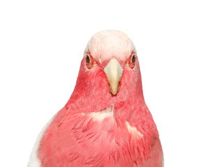 pink parrot  Isolated on white  background
