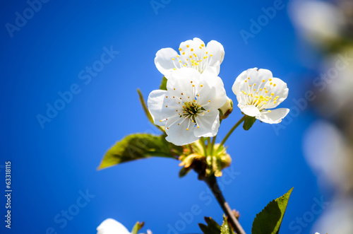 Close up on white cherry flowers