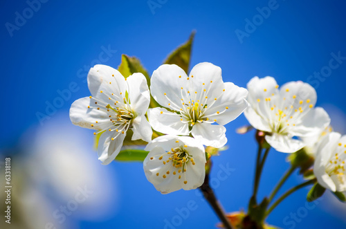 White cherry flower up close and blue sky