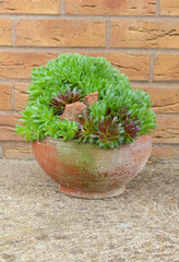 Terracotta bowl with house leeks.