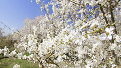 Dolly: Cherry trees blossom in spring fruit garden