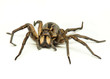 canvas print picture - wolf spider