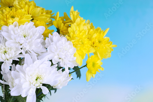 Beautiful chrysanthemum flowers on natural background