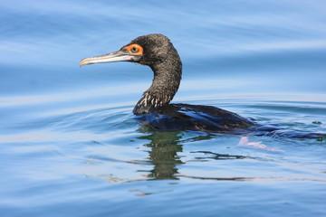 cormorano uccello acquatico