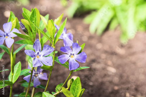 Blue periwinkle flowers in garden