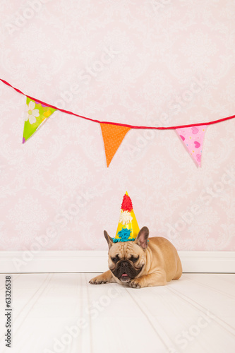 French bulldog is having birthday
