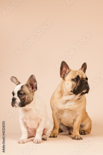 French bulldogs laying on beige background