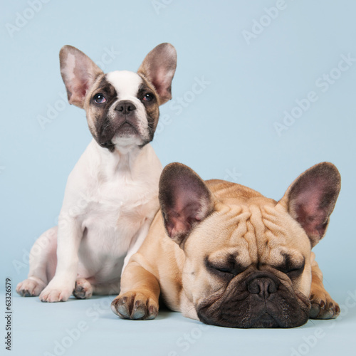 French bulldogs together on blue background