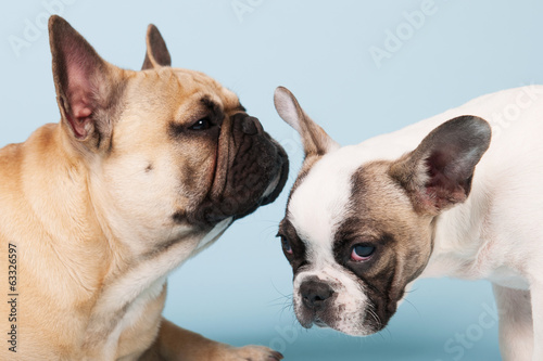 French bulldogs on blue background