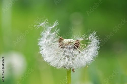 Dandelion  seeds in the wind - Graine de pissenlit au vent