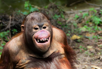 Funny smile orangutan monkey portrait