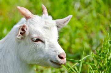 goat baby on the grass close up portrait