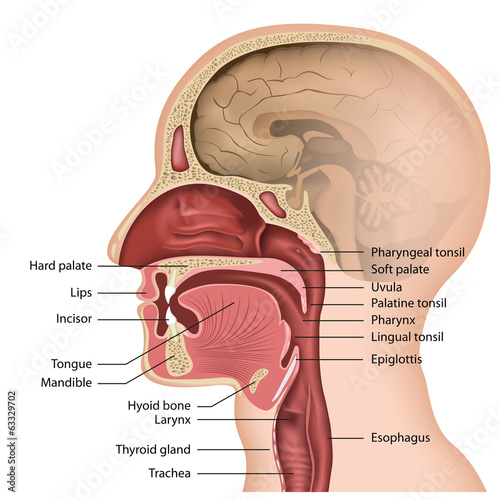 anatomy mouth und pharynx, english description