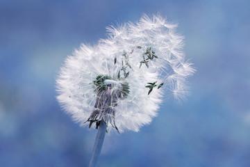 Dandelion  seed in blue - Graines de pissenlit au vent © coxy01