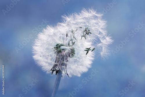 Dandelion  seed in blue - Graines de pissenlit au vent