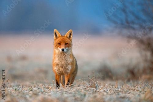 Red fox - 63331158