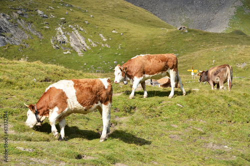 Cows in Alpine meadow