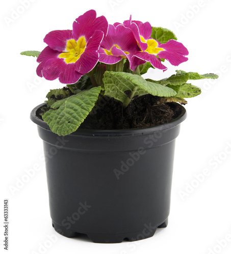 Pink flowers in flowerpot isolated on white background