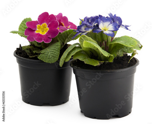 Pink and blue flowers in flowerpot isolated on white background