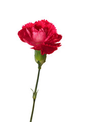 Carnation flower isolated on white background.