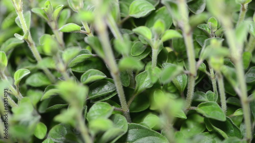 Oregano Plant (seamless loopable)