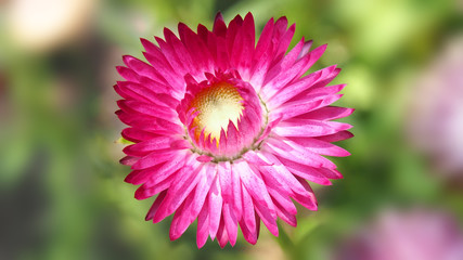 Blooming strawflower