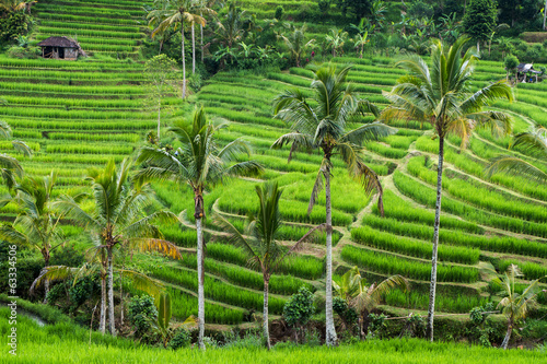 Green rice fields on Bali,Jatiluwih,  near Ubud, Indonesia