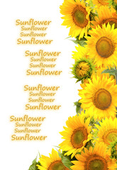 Frame of sunflowers. Isolated on white background.