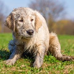 Dirty golden retriever puppy