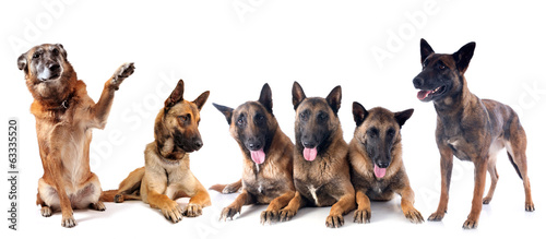 group of malinois
