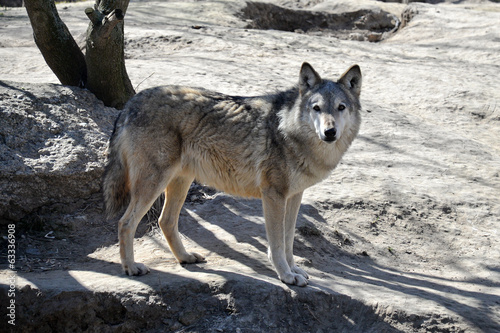 Young wolf in the Kyiv zoo