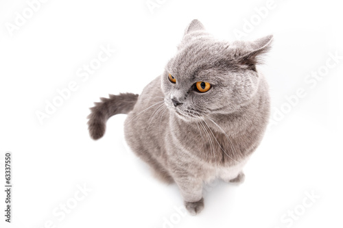 Grey british cat isolated