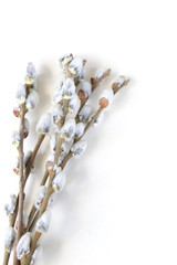 Spring flowering willow branches symbol of Easter