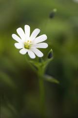 Große Sternmiere / Stellaria holostea