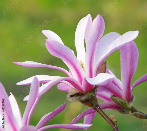Staande foto Magnolia Magnolie - magnolia 28