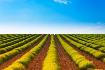 Agricultural landscape of lavender fields