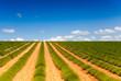 Landscape of green lavender fields