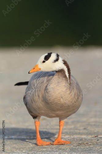 Bar-headed Goose (Anser indicus) in Japan