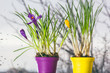 Постер, плакат: Crocuses in pots near the window