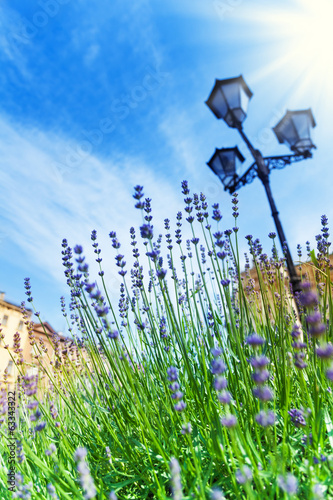 Blooming lavender growing near streetlight