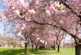 Frühlings-Taum: Japanische Kirschblüten :)