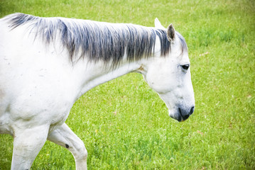 Riding horse in a farm pasture of grass