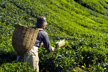 Picker Harvesting Tea Leaves