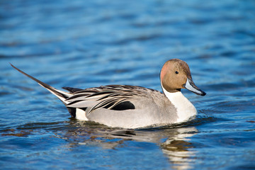 Northern Pintail Duck, Male