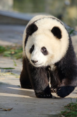 Giant Panda, Sub-adult. Chengdu, China